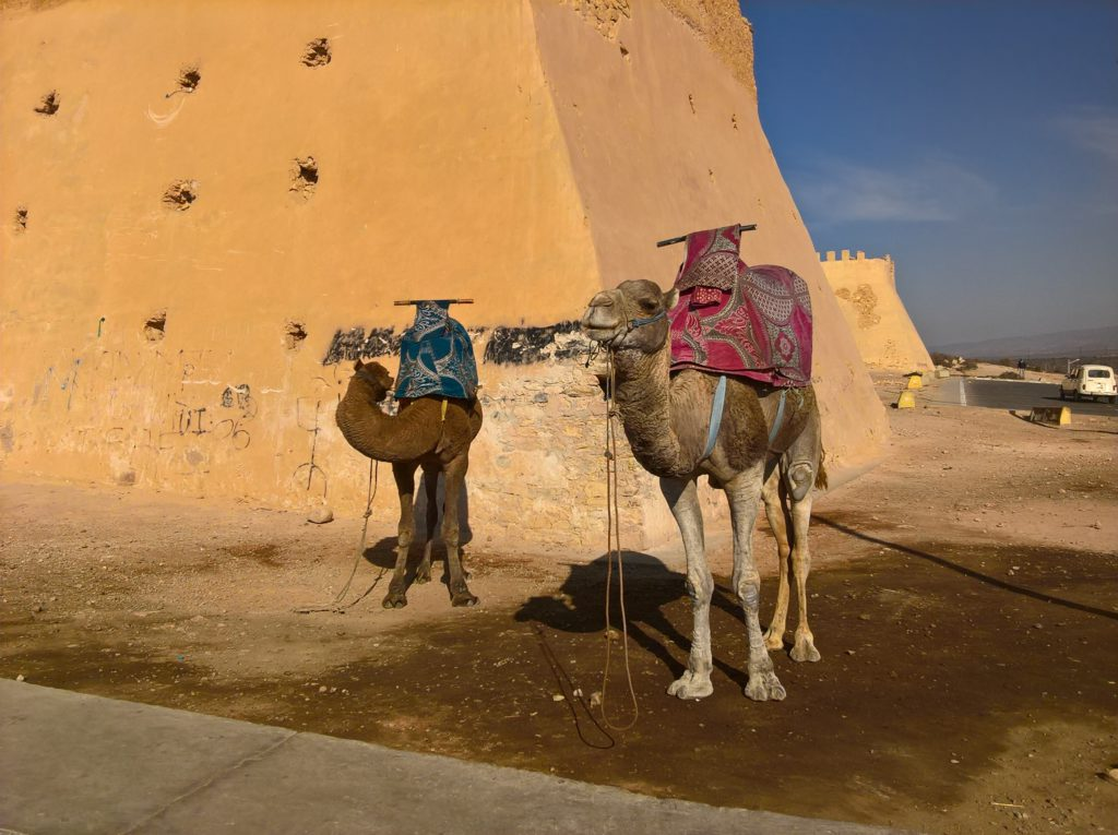 Camels in Morocco Marokko